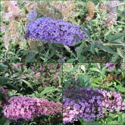 pflanzen discounter24 3 Schmetterlingsflieder, Buddleja Reve de Papillon Blue, Pink delight, Nanho Blue 15-20 cm Topfpflanze
