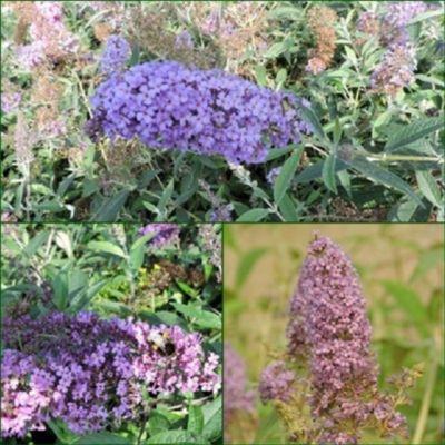 pflanzen discounter24 3 Schmetterlingsflieder, Buddleja Reve de Papillon Blue, Nanho Blue, Empire Blue 15-20 cm Topfpflanze