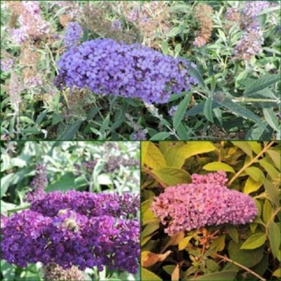 pflanzen discounter24 3 Schmetterlingsflieder, Buddleja Reve de Papillon Blue, Black Knight, lilac chip 15-20 cm Topfpflanze