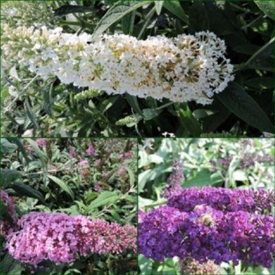 pflanzen discounter24 3 Schmetterlingsflieder, Buddleja Reve de Papillon White, Pink Delight, Black Knight 15-20 cm Topfpflanze