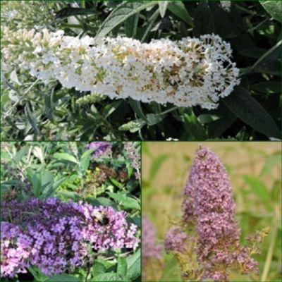 pflanzen discounter24 3 Schmetterlingsflieder, Buddleja Reve de Papillon White, Nanho Blue, Empire Blue 15-20 cm Topfpflanze