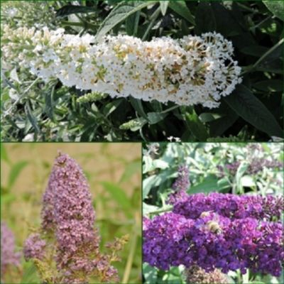 pflanzen discounter24 3 Schmetterlingsflieder, Buddleja Reve de Papillon White, Empire Blue, Black Knight 15-20 cm Topfpflanze