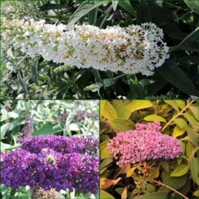 pflanzen discounter24 3 Schmetterlingsflieder, Buddleja Reve de Papillon White, Black Knight, Lilac Chip 15-20 cm Topfpflanze