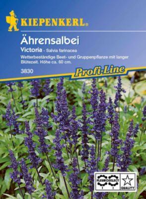 Kiepenkerl  Ährensalbei Victoria, blau
