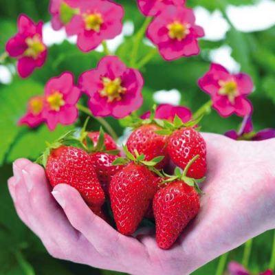 Kiepenkerl  Erdbeeren ´Toscana´, F1