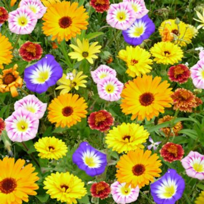 Kiepenkerl  Blütenteppich