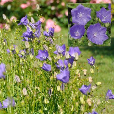 Alpenglockenblume &acuteBlaue Clips´