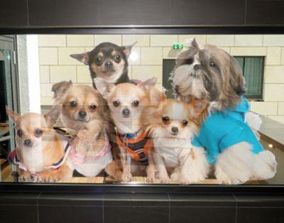 Fensterfolie - Fenstersticker No.277 Chihuahuas...