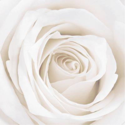 Rosen Vliestapete - Blumentapete Pretty White Rose - Blumen Fototapete Quadrat