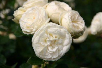 Artemis® - Container Rose im 5 ltr. Topf