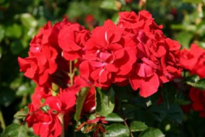 Latino® - Container Rose im 5 ltr. Topf   Garten > Pflanzen > Pflanzen   Rose   Rosen-Direct