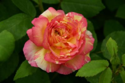 Marc Chagall® - Container Rose im 7 ltr. Topf
