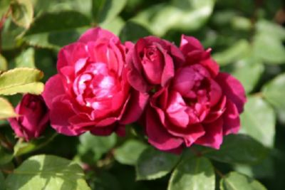 Rosen Direct Cardinal Hume® - Container Rose im 5 ltr.Topf