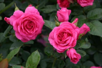 Lea Renaissance® - Container Rose im 5 ltr. Topf