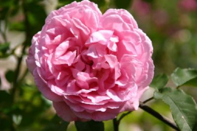 Radio Times® - Container Rose im 5 ltr. Topf