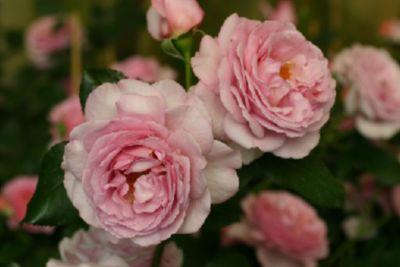 Souvenir de Louis Amade® - Container Rose im 7 ltr. Topf | Garten > Pflanzen > Pflanzen | Rosen-Direct