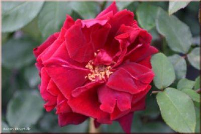 Rosen Direct Étoile de Hollande Climbing - Container Rose im 5 ltr. Topf