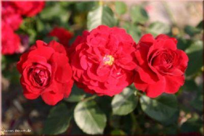 Nina Weibull - Container Rose im 4 ltr. Topf