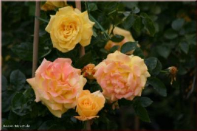 Goldfassade - Container Rose im 5 ltr. Topf