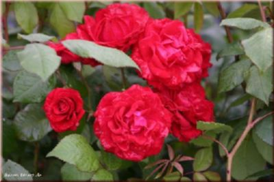 Paul&acutes Scarlet Climber - Container Rose im...