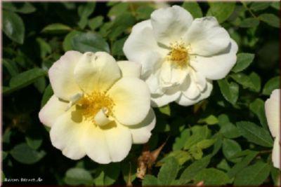 Frühlingsgold - Container Rose im 5 ltr. Topf