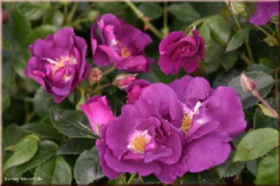 Rhapsody in Blue® - Container Rose im 4 ltr. Topf | Garten > Pflanzen > Pflanzen | Rosen-Direct