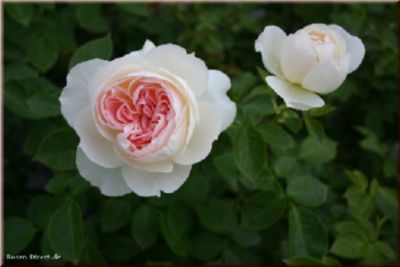 Flora Romantica® - Container Rose im 5 ltr. Topf