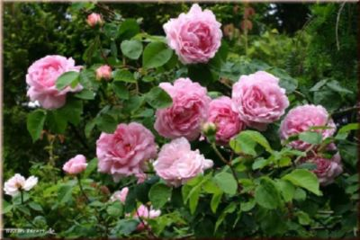 Constance Spry - Container Rose im 5 ltr. Topf