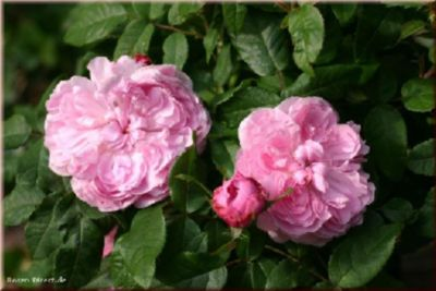 Jacques Cartier - Container Rose im 5 ltr. Topf | Garten > Pflanzen > Pflanzen | Rose | Rosen-Direct