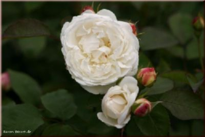 Winchester Cathedral® - Container Rose im 5 ltr...