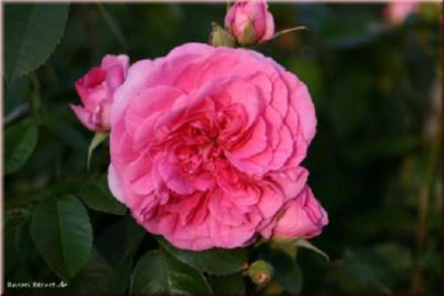 Gertrude Jekyll® - Container Rose im 5 ltr. Topf