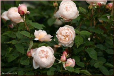 St.Cecilia® - Container Rose im 5 ltr. Topf