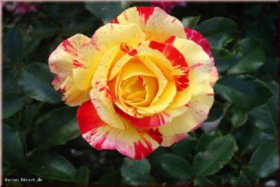 Rosen Direct Camille Pissarro® - Container Rose im 5 ltr. Topf