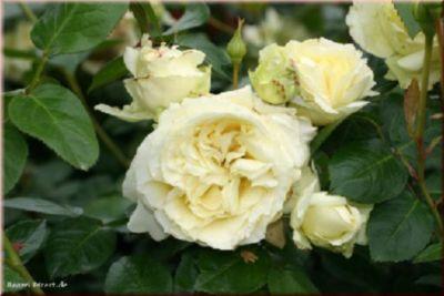 Elfe® - Container Rose im 5 ltr. Topf | Garten > Pflanzen > Pflanzen | Rosen-Direct