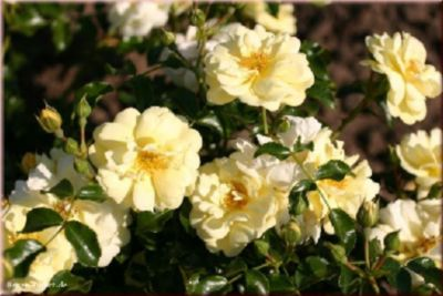 Sunny Rose® - Container Rose im 4 ltr. Topf