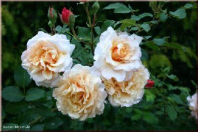 Caramella® - Container Rose im 5 ltr. Topf