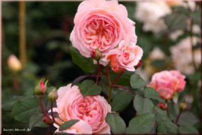 Plus A Shropshire Lad® - Container Rose im 5 ltr. Topf