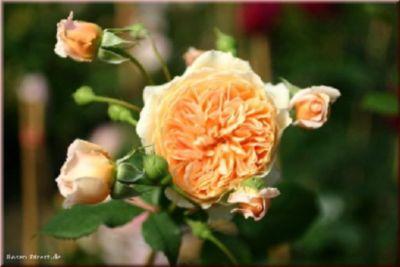 Crown Princess Margareta® - Container Rose im 5...