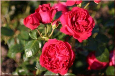 Red Eden Rose® - Container Rose im 5 ltr. Topf | Garten > Pflanzen > Pflanzen | Rosen-Direct