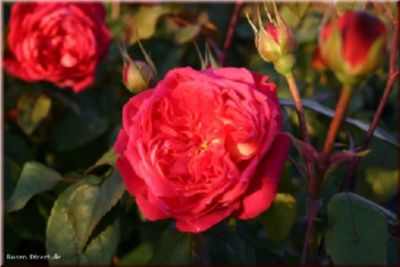 Rosen Direct Benjamin Britten® - Container Rose im 5 ltr. Topf