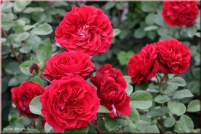 Nadia®Renaissance® - Container Rose im 5 ltr. Topf