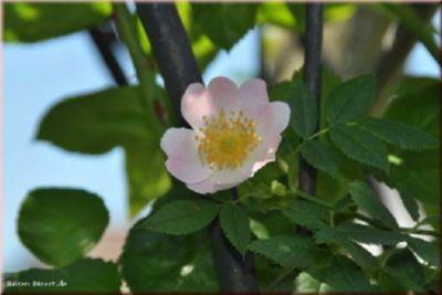 Rosa rubiginosa - Container Rose im 4 ltr. Topf