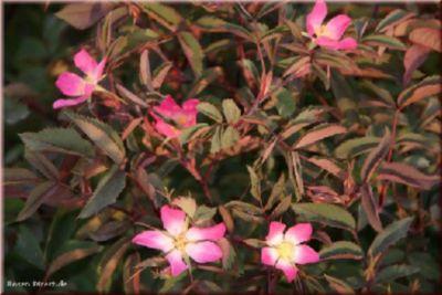 Rosa glauca - Container Rose im 4 ltr. Topf