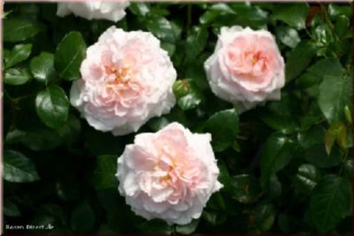 Miss Alice® - Container Rose im 5 ltr. Topf | Garten > Pflanzen > Pflanzen | Rosa | Rosen-Direct