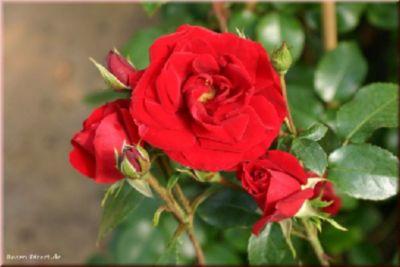 Amadeus® - Container Rose im 5 ltr. Topf