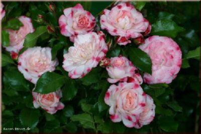 Rosenstadt Freising® - Container Rose im 5 ltr. Topf   Garten > Pflanzen > Pflanzen   Weiß   Rosen-Direct