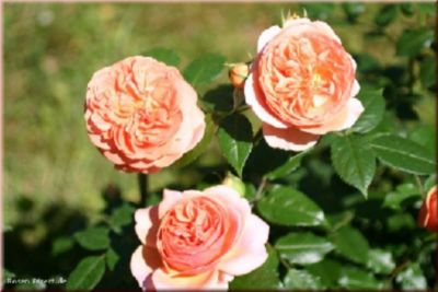 Chippendale® - Container Rose im 4 ltr. Topf
