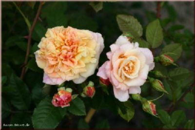 Rosen Direct Aloha-Kordes`Rose Aloha® - Container Rose im 5 ltr. Topf