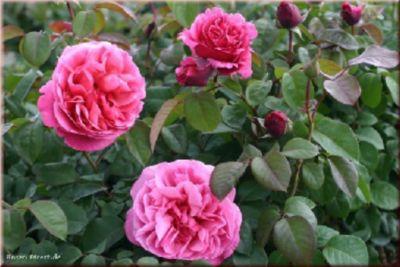 Elbflorenz® - Container Rose im 4 ltr. Topf