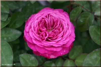 Heidi Klum Rose® - Container Rose im 4 ltr. Topf